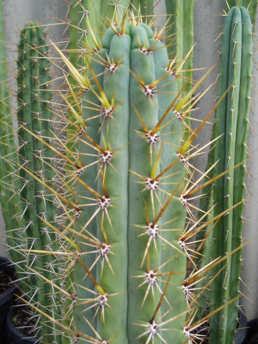 Seed grown peruvianus