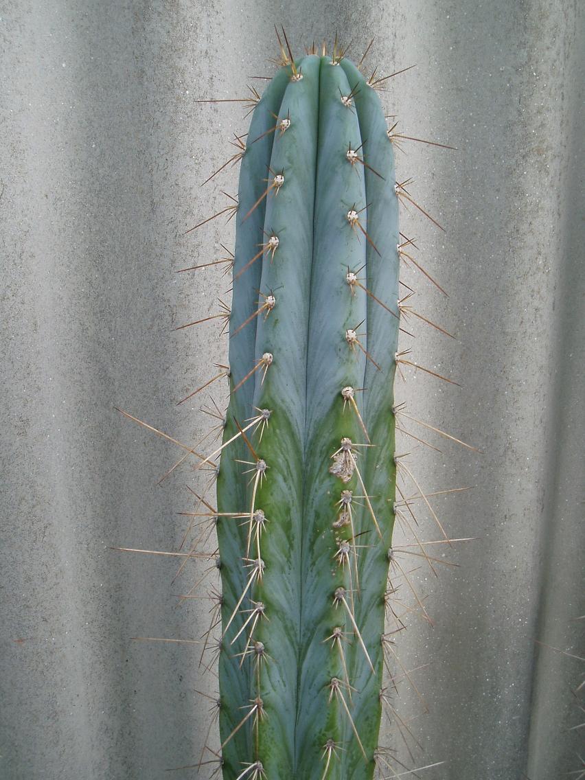 Macro/Peruvianus?