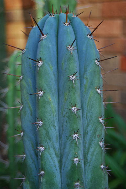 seedgrown 'pach' 2