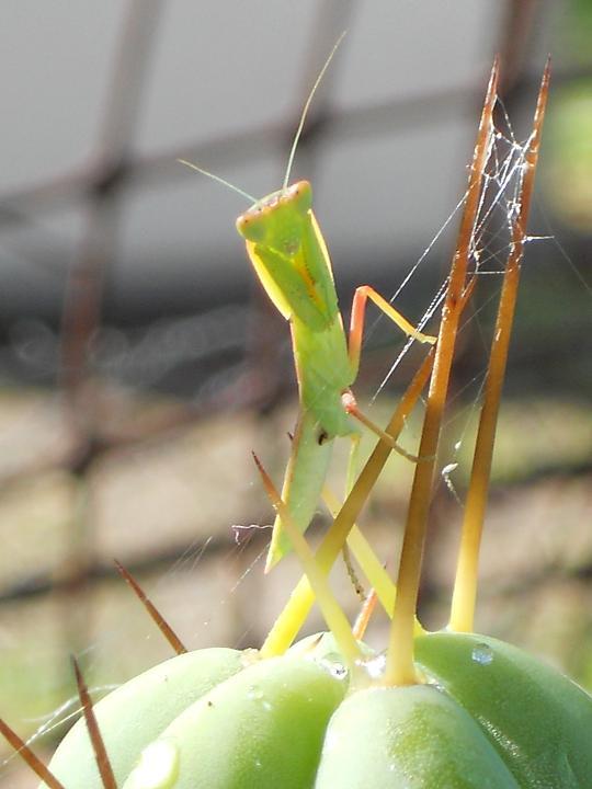 mantis on bridge