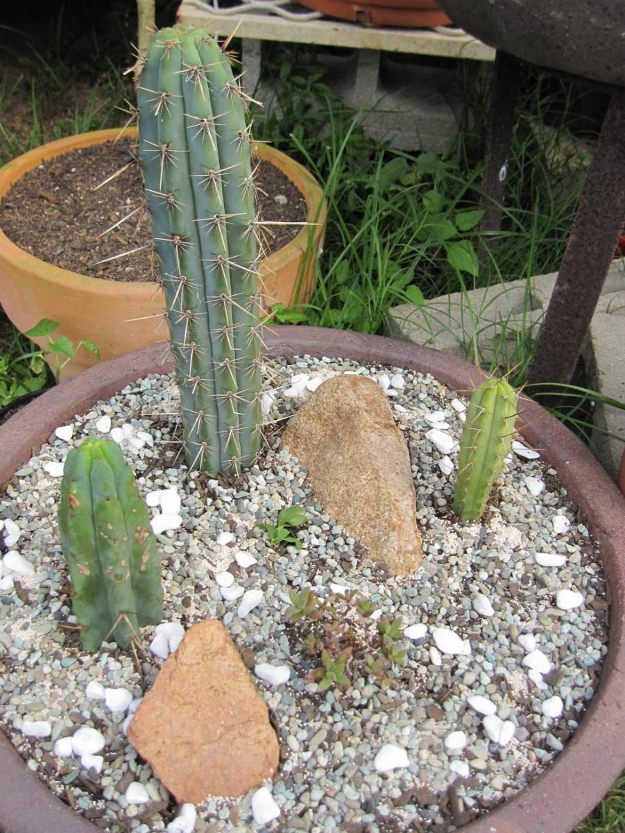 new cacti.JPG