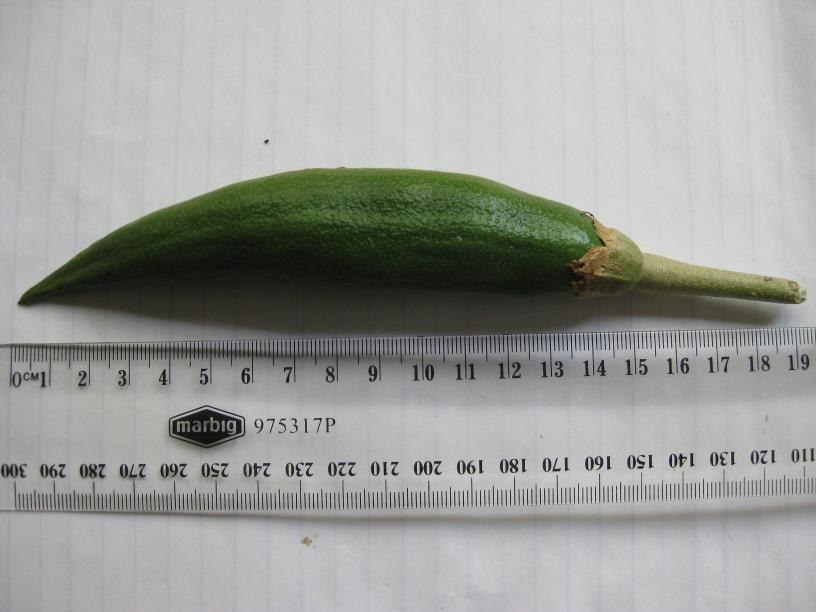 Brug seed pod