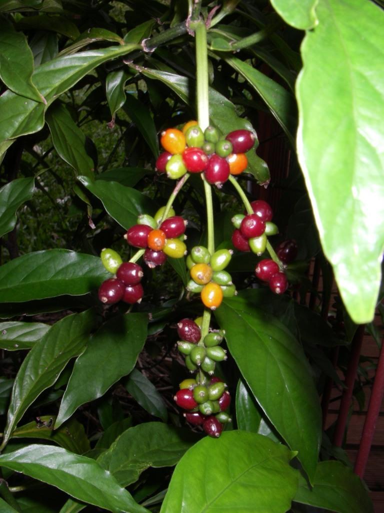 Chacruna Berries