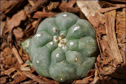 Lophophora W
