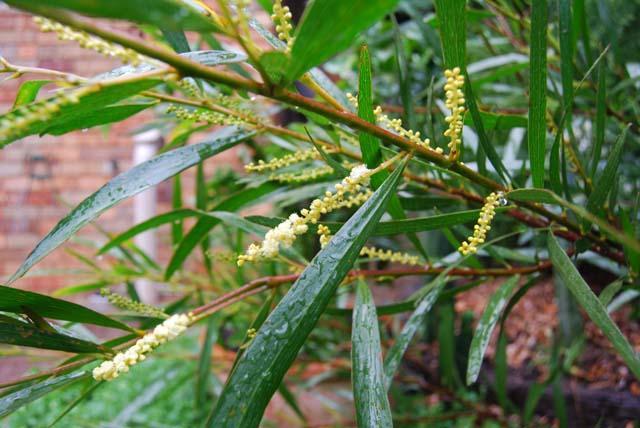 first obtusifolia flowers