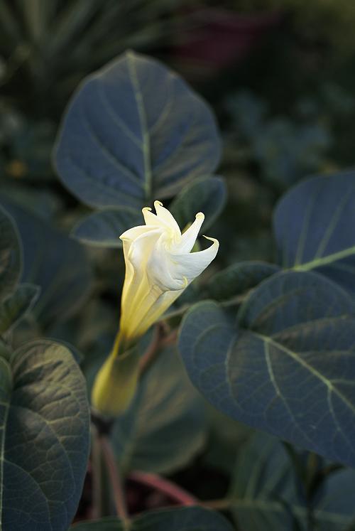 Datura Inoxia Flowering!