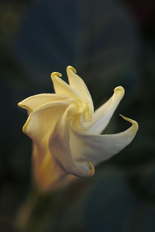 Datura Inoxia Flower