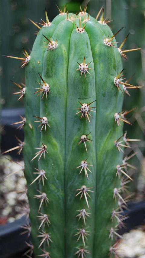 peruvianus seed