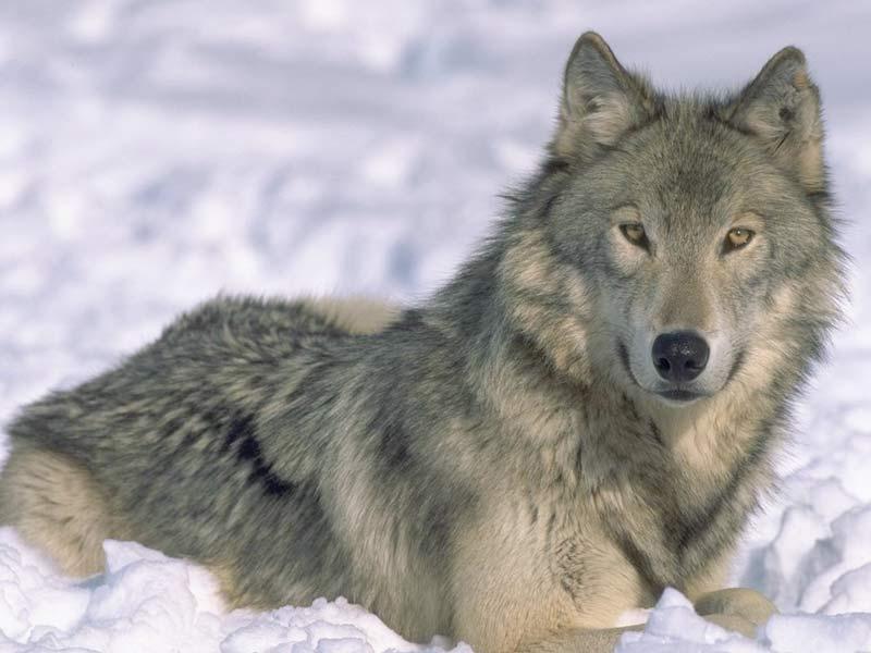 7art_Angry_Wolves_ScreenSaver_300.jpg