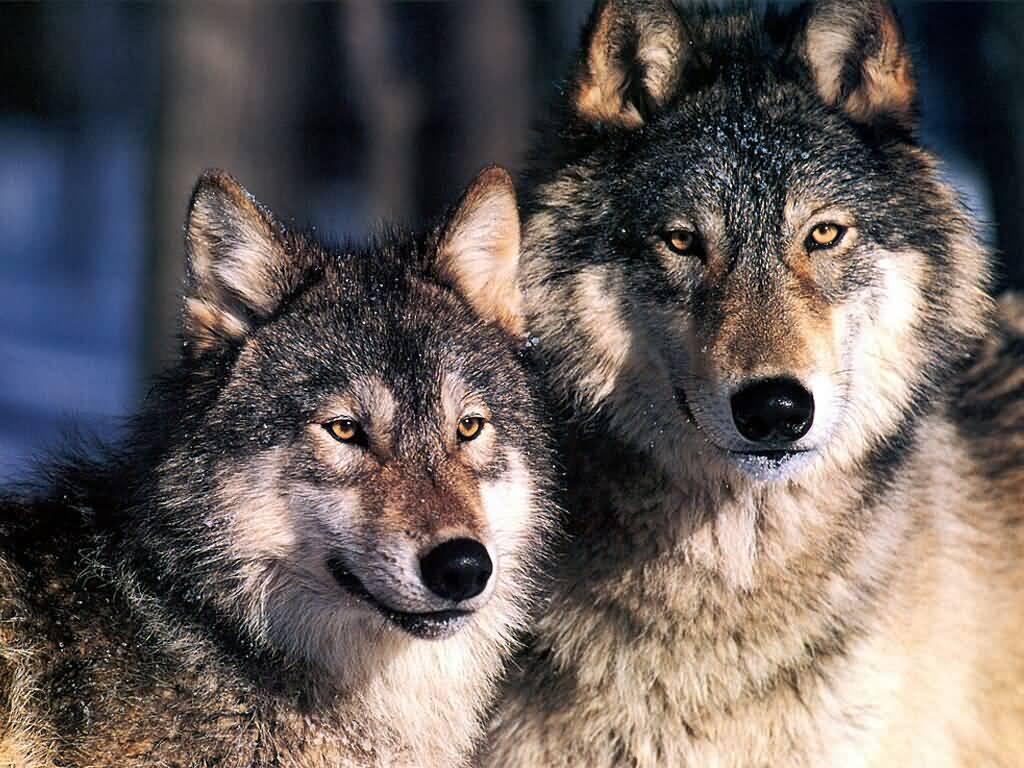 JLM-wolves-(1024x768).jpg