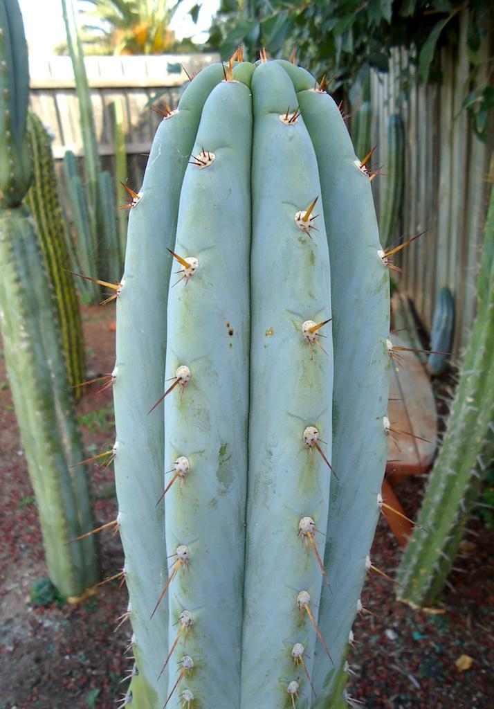 T.peruvianus 'Sharxx Blue'