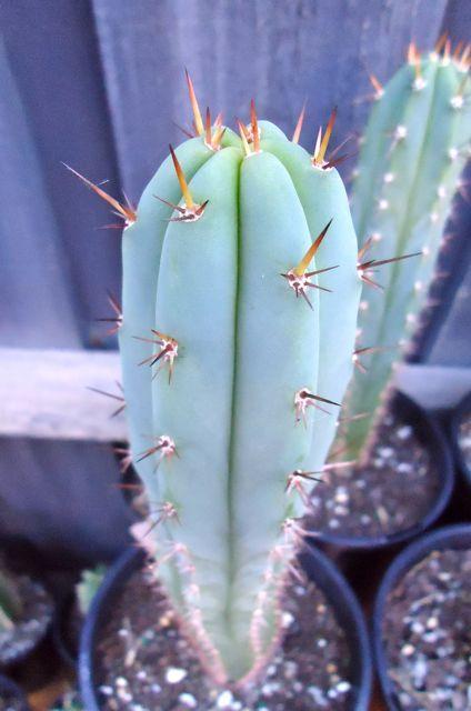 T.peruvianus