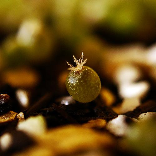 Loph Seedling