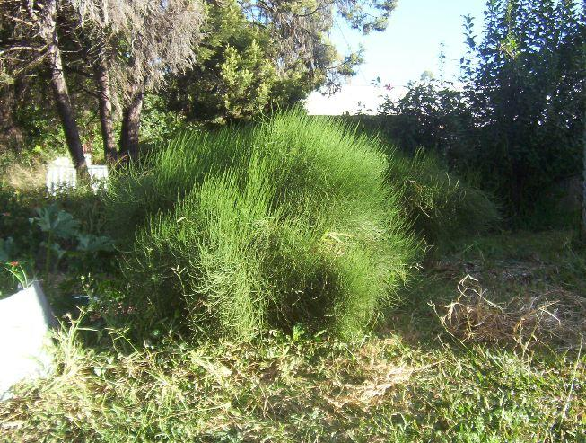 oz grown ephedra major