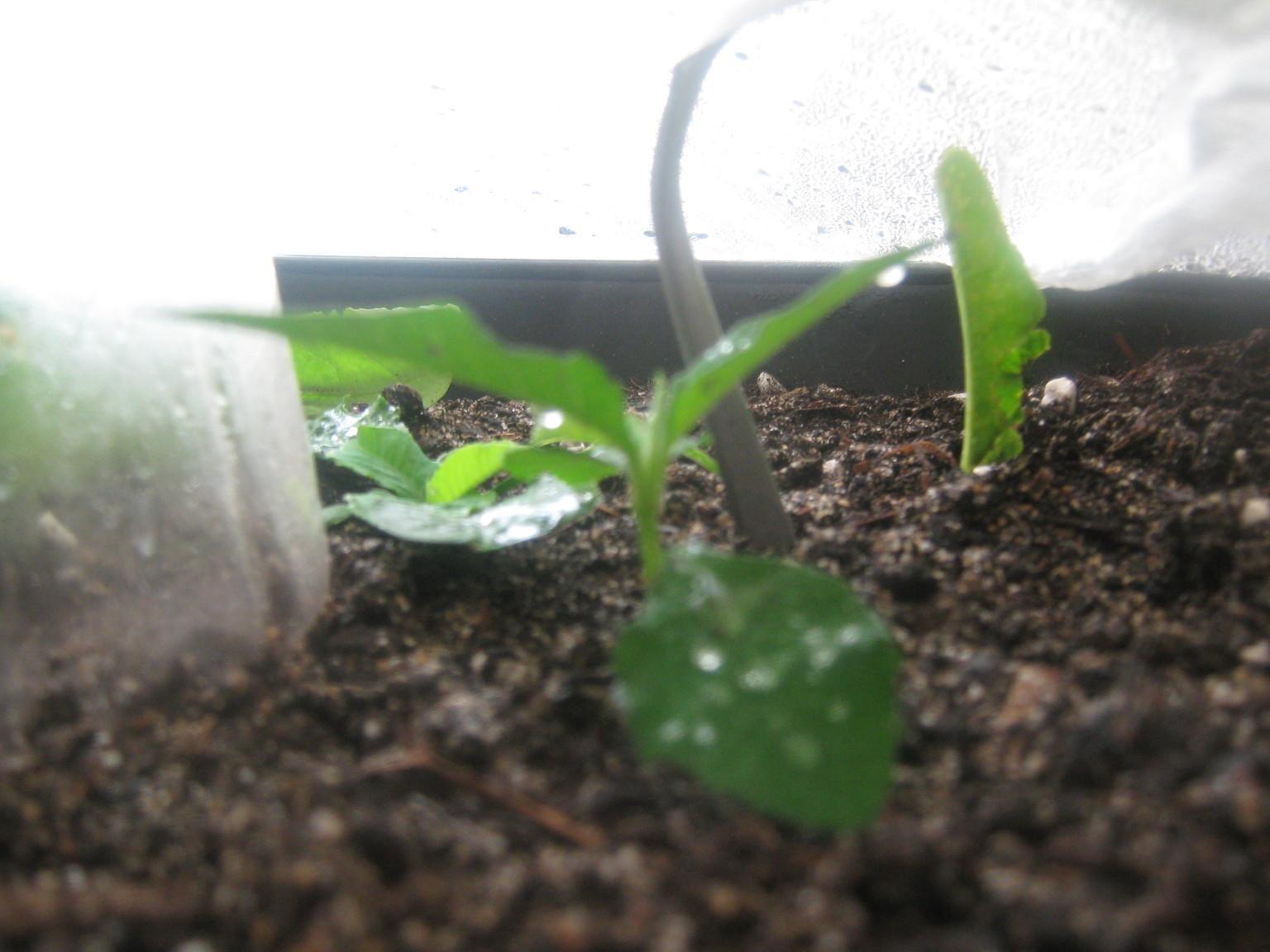 caapi cuttings