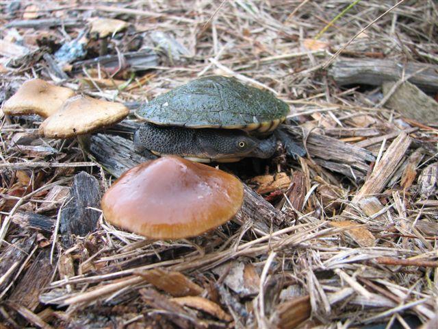Turtle sub