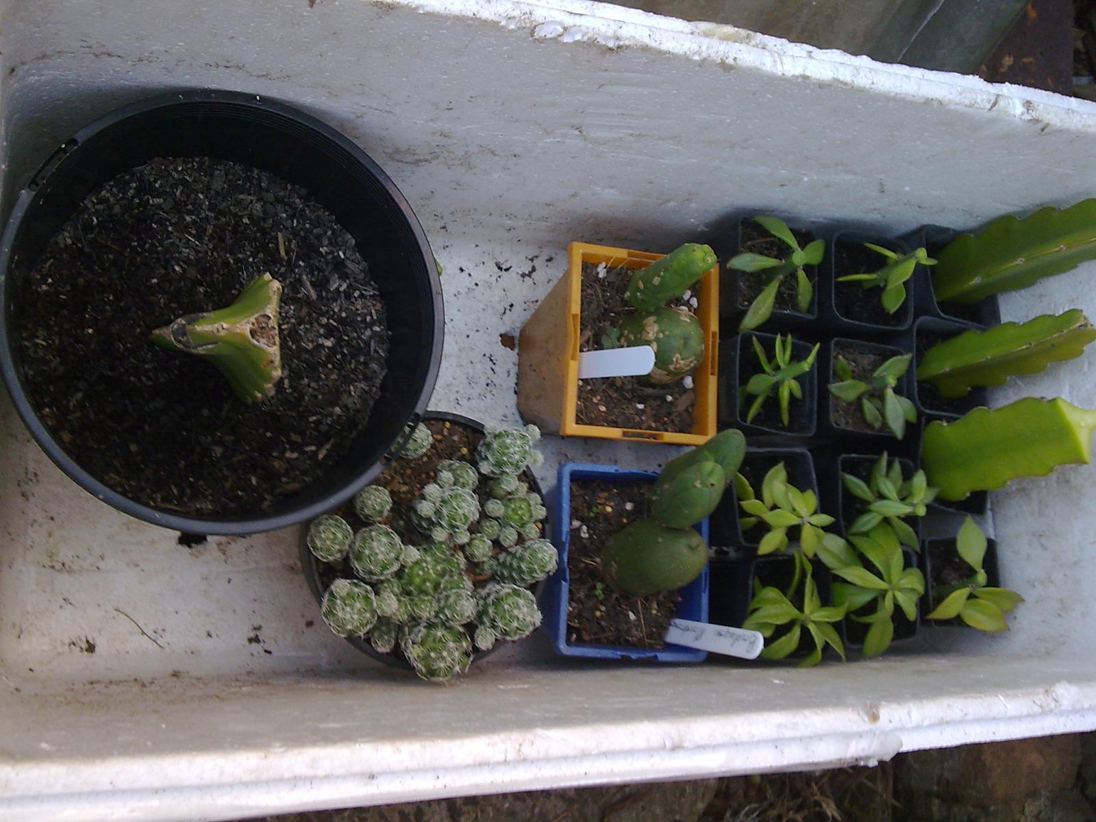 Peres, TBM, Mammillaria Gracilis & Hylocereus Undata