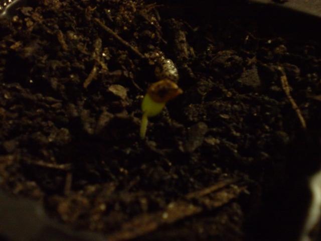 M. Hostilis sprout