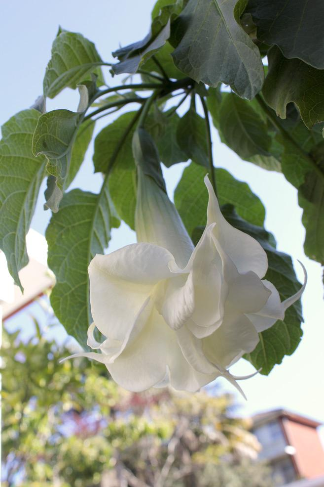 Double blossom Brugmansia