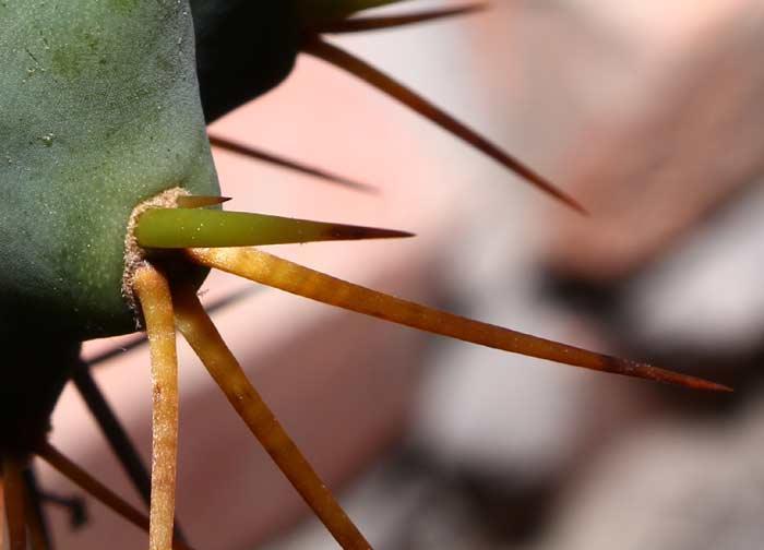 Trichocereus boliviensis