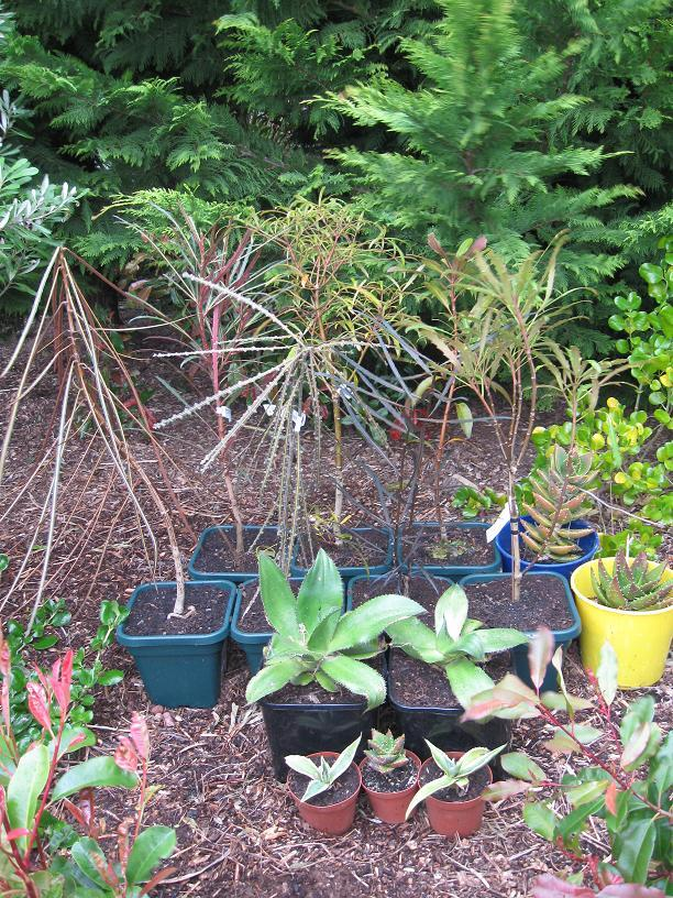 lancewood hybrids