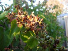Ololiuhqui |  Rivea corymbosa