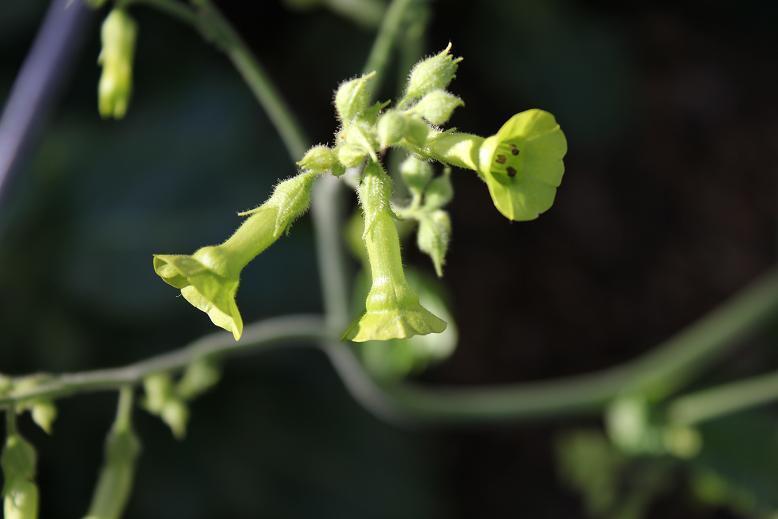 Nicotiana langsdorfii