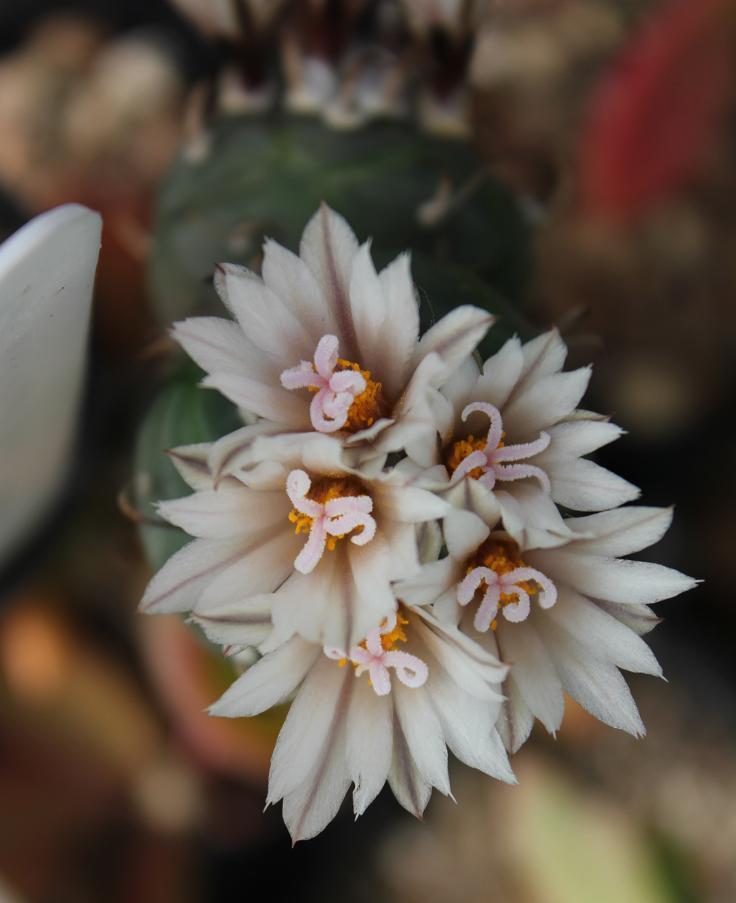 Turbinicarpus polaskii (from seed to peres graft)