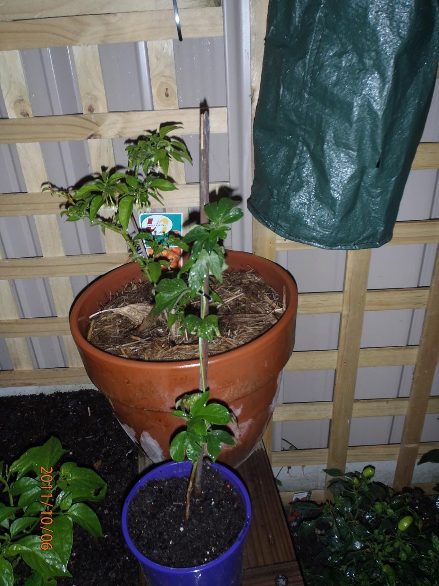 One Passiflora incarnata rooted cutting