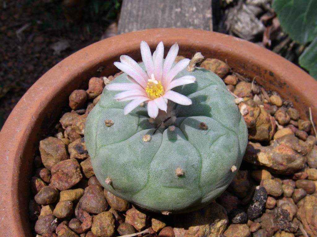 Seed Grown Peyote Flower