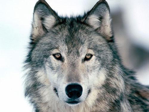 wolf-photo.jpg