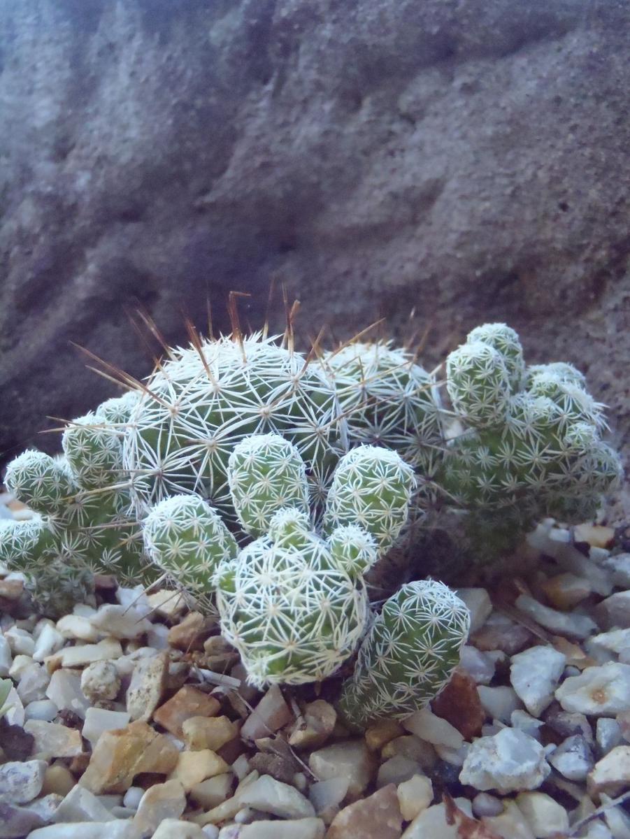 Mammillaria fragillis.JPG