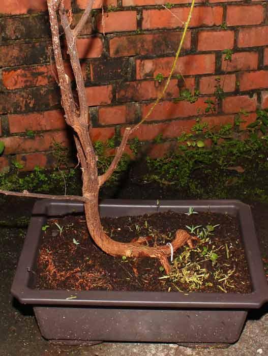 Mimosa hostilis bonsai