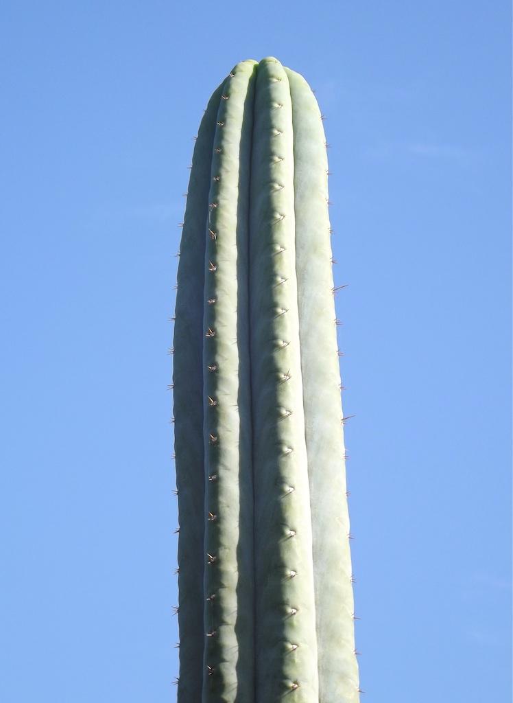T.peruvianus 'Short Spined'