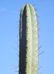 T. peruvianus 'Rosei #2'