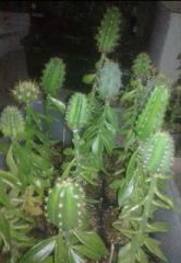 mixed box of Tricho seedlings 4sale