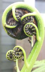 wet xmas fern frond unfurling