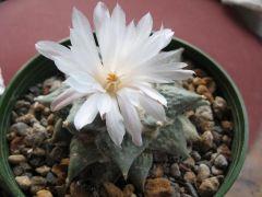 Ariocarpus restus in flower