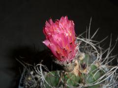 Astrophytum Capricorne flower