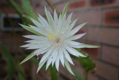 Unknown Epiphyllum