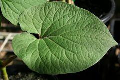 Piper auritum leaf 2