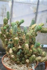 Echinopsis lageniformis monstrose