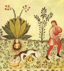 Mandragora Tacuinum Sanitatis