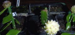 First ever Hyclocereus graft!