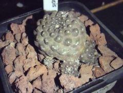 Copiapoa hypogea barquitensis
