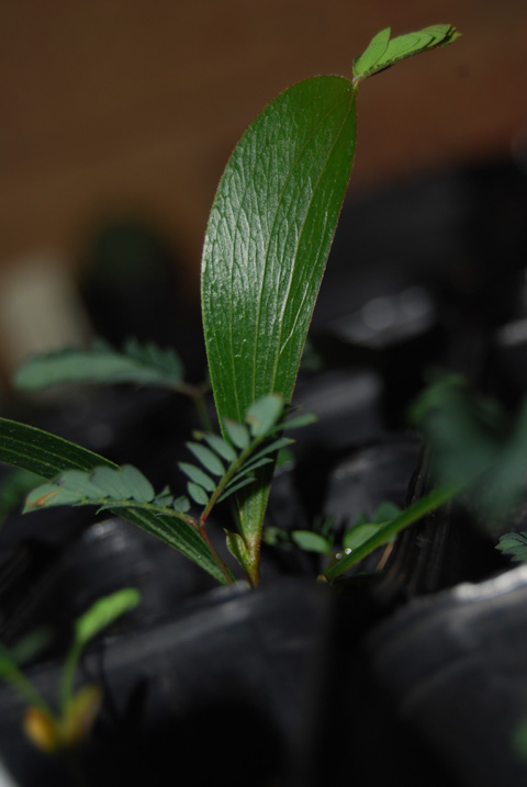 acacia2 seedling