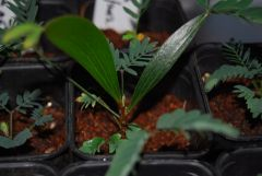 acacia seedling