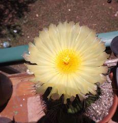 Mammi flower