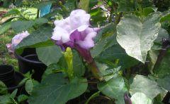 triple purple datura