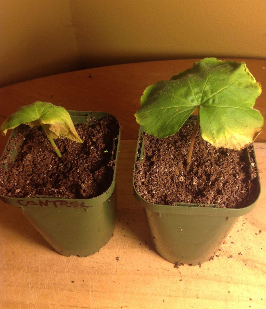 Leaf healing experiment
